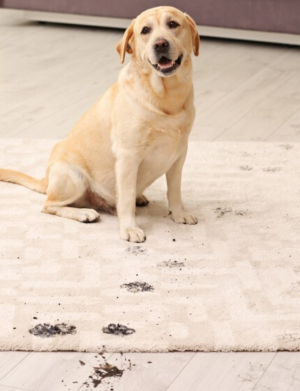 Dog footprints on rug | Tom January Floors